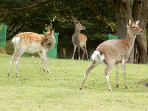 この島では鹿が手厚く保護されています。