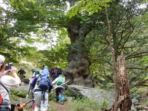 巨木の幹の周りがコブこぶ‼