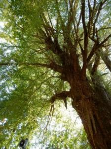 見事な大木。
